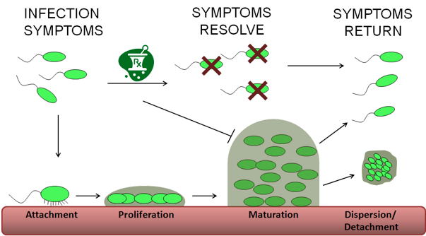 View of Biofilms in the ICU   The Southwest Respiratory and